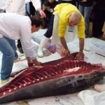 Mayo, el mes del atún rojo de Barbate